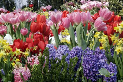 Tips for planting spring flowering bulbs