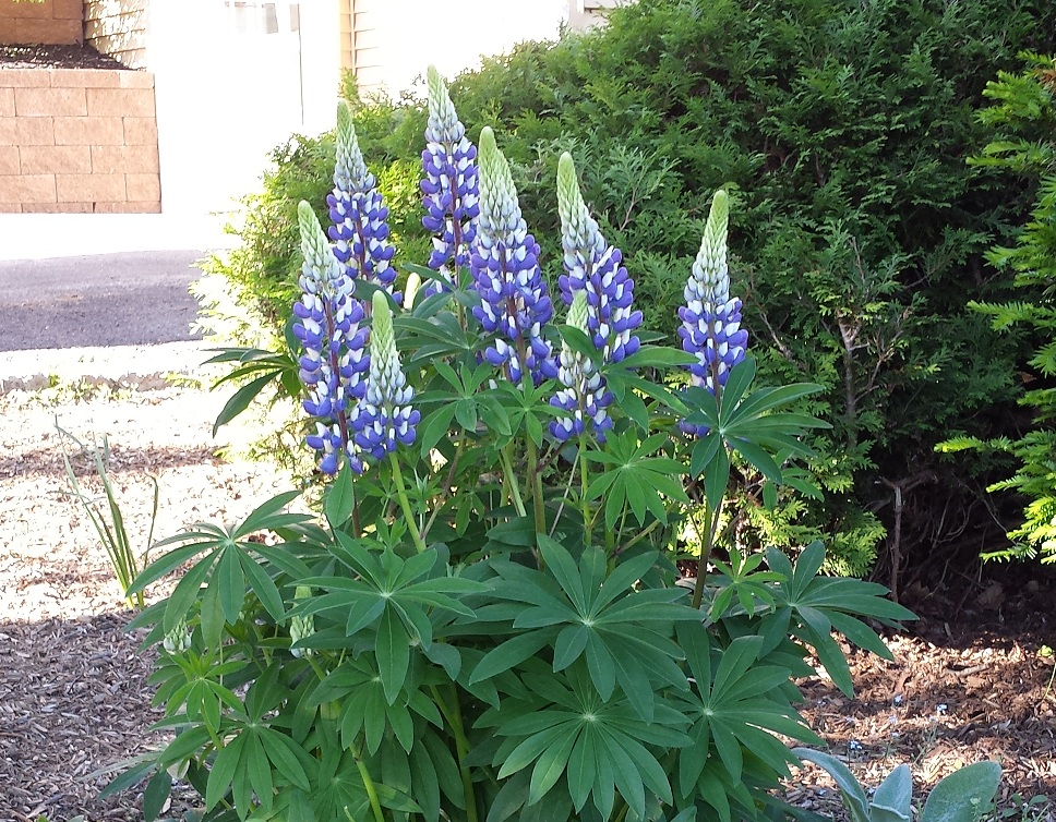 Facts & Tips on Growing Lupins
